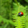 Lady bug on a fern