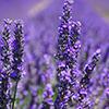 Blooming lavendar